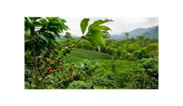 Hlavné oblasti pestovania kávy